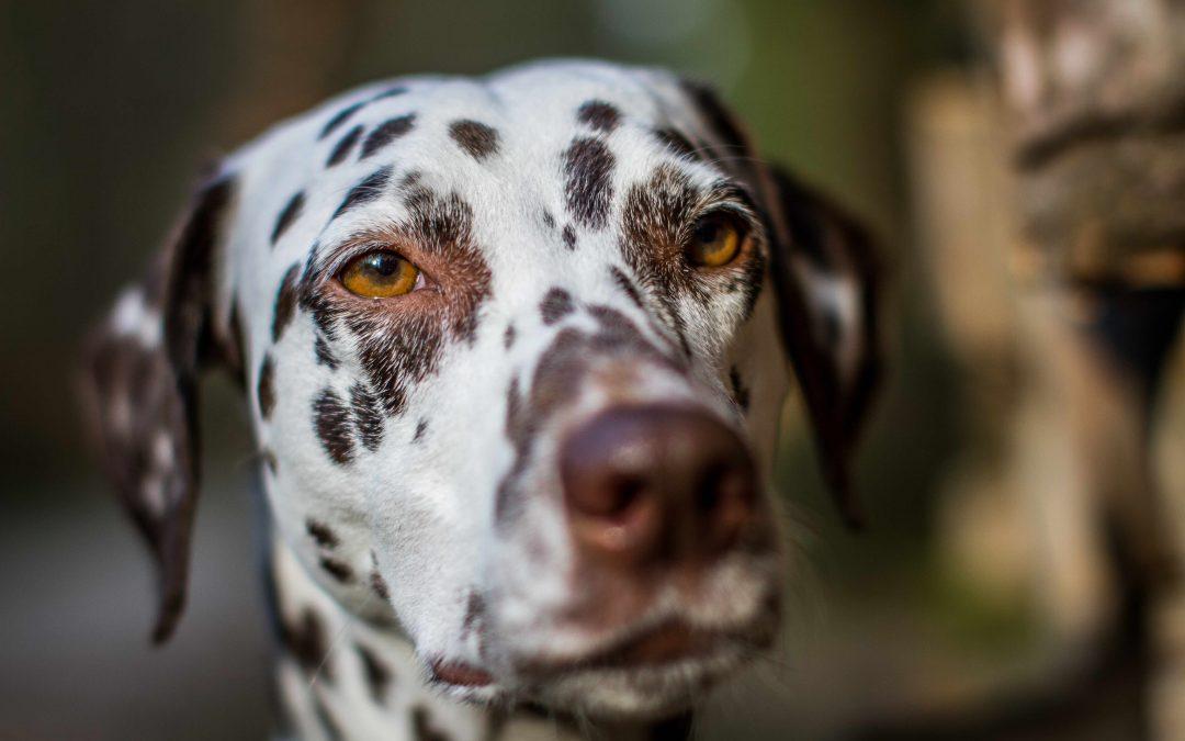 Schilddrüsenunterfunktion beim Hund: Diagnose, Verhalten und Lösungen zum Krankheitsbild